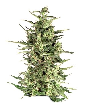 DUTCH CHEESE - 3 SEEDS - Dutch Passion - Seed Banks