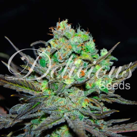 ELEVEN ROSES - Delicious Seeds - Seed Banks