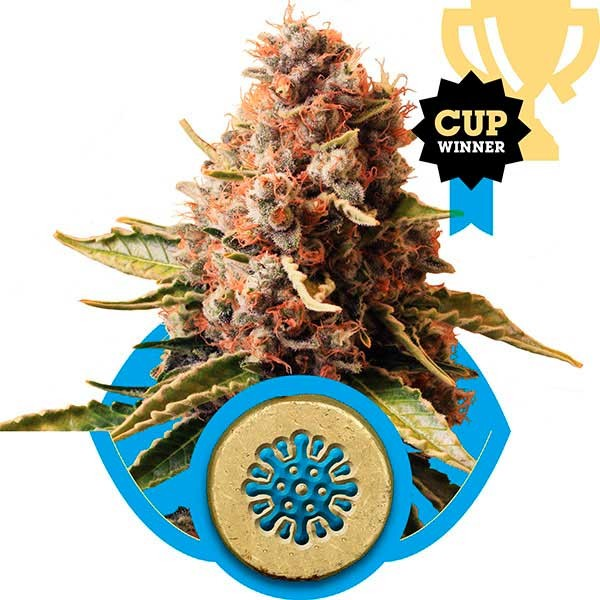 Euphoria - Royal Queen Seeds - Seed Banks