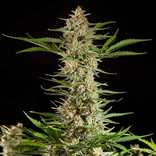 Fraggle Skunk Auto - Philosopher Seeds - Seed Banks