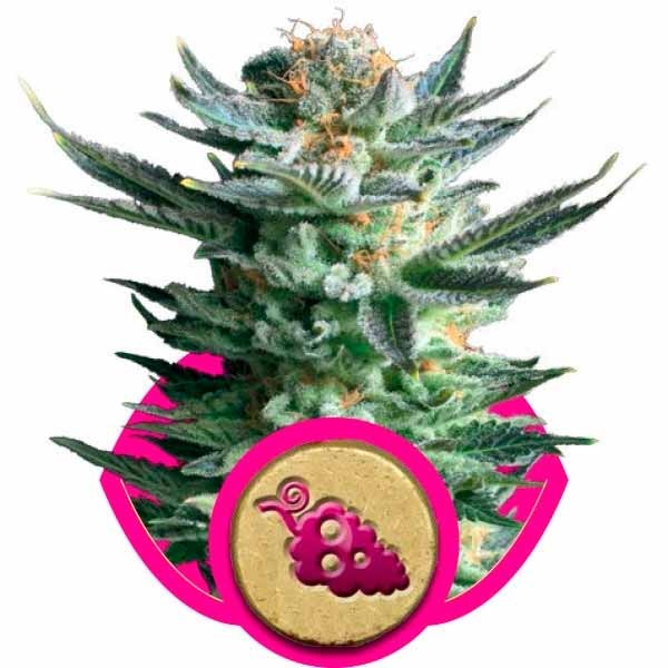 FRUIT SPIRIT - Royal Queen Seeds - Seed Banks