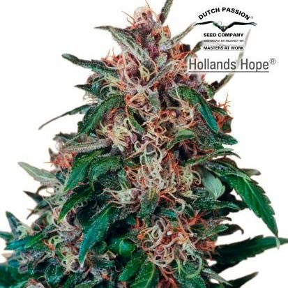 Hollands Hope  - Dutch Passion - Seed Banks
