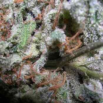 Indica Champions Pack - Paradise Seeds - Seed Banks