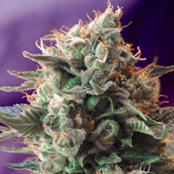 JACK 47 FAST VERSION - Sweet Seeds - Seed Banks