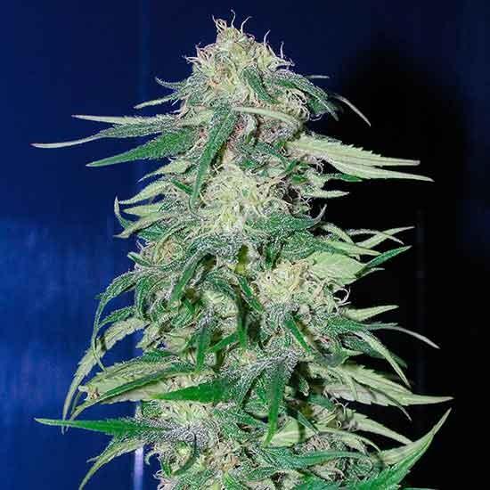 K 2 - 5 seeds - Fantaseeds - Seed Banks