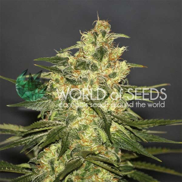 Ketama Regular - 10 Semillas - World of Seeds - Seed Banks