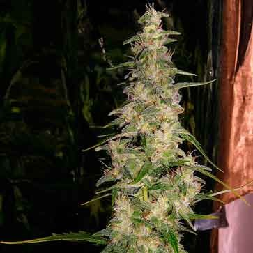 La niña - 15 seeds - Mr. Nice - Seed Banks