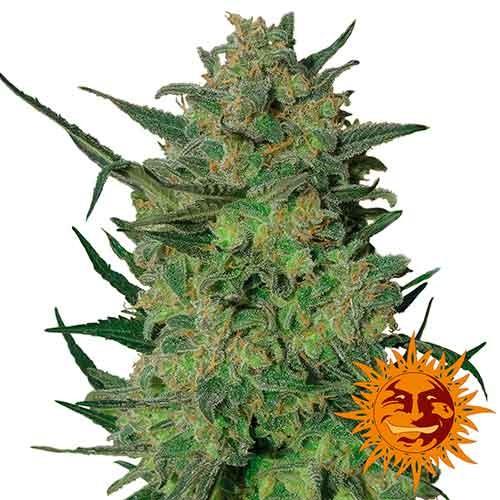 LSD - Barney's Farm - Seed Banks