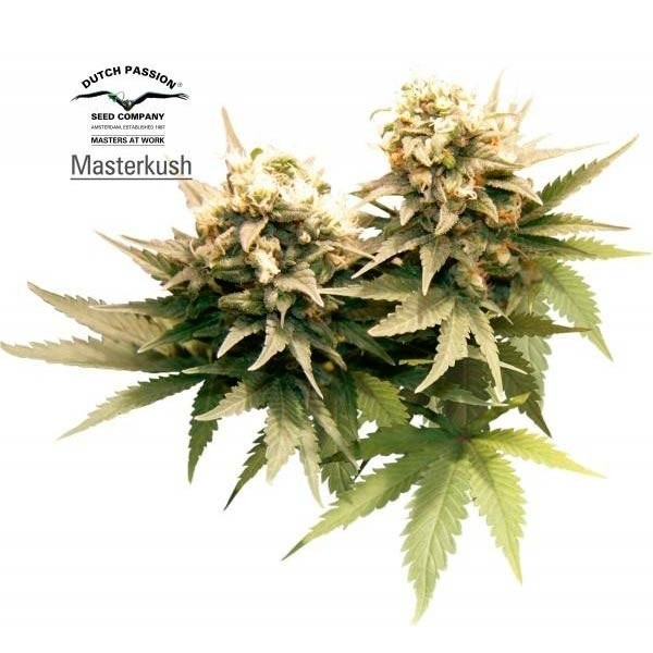 MASTER KUSH - Dutch Passion - Seed Banks