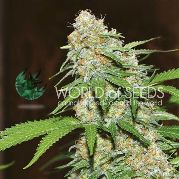 Mazar x White Rhino - World of Seeds - Seed Banks