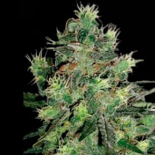 Midnight Blue - 5 seeds - Sagarmatha - Seed Banks