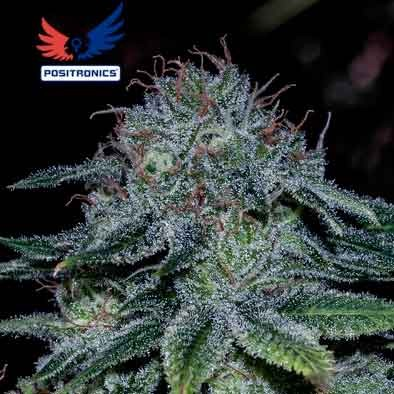 Mystic Cookie - 5 seeds - Positronics - Seed Banks