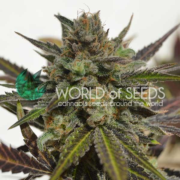 Northern Light x Skunk - World of Seeds - Seed Banks