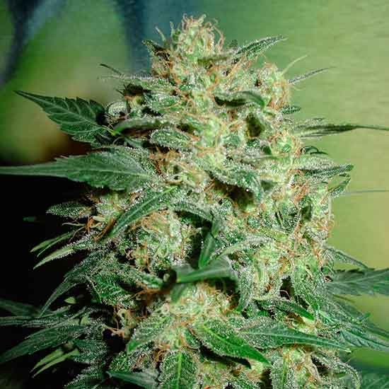 Northern Light  - 5 seeds - Fantaseeds - Seed Banks