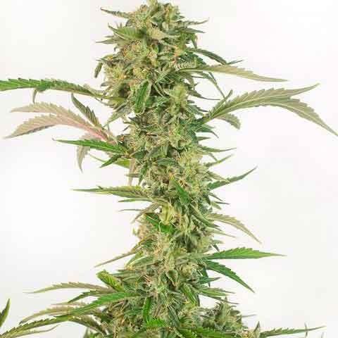 OG Kush Autoflowering CBD - Dinafem - Seed Banks