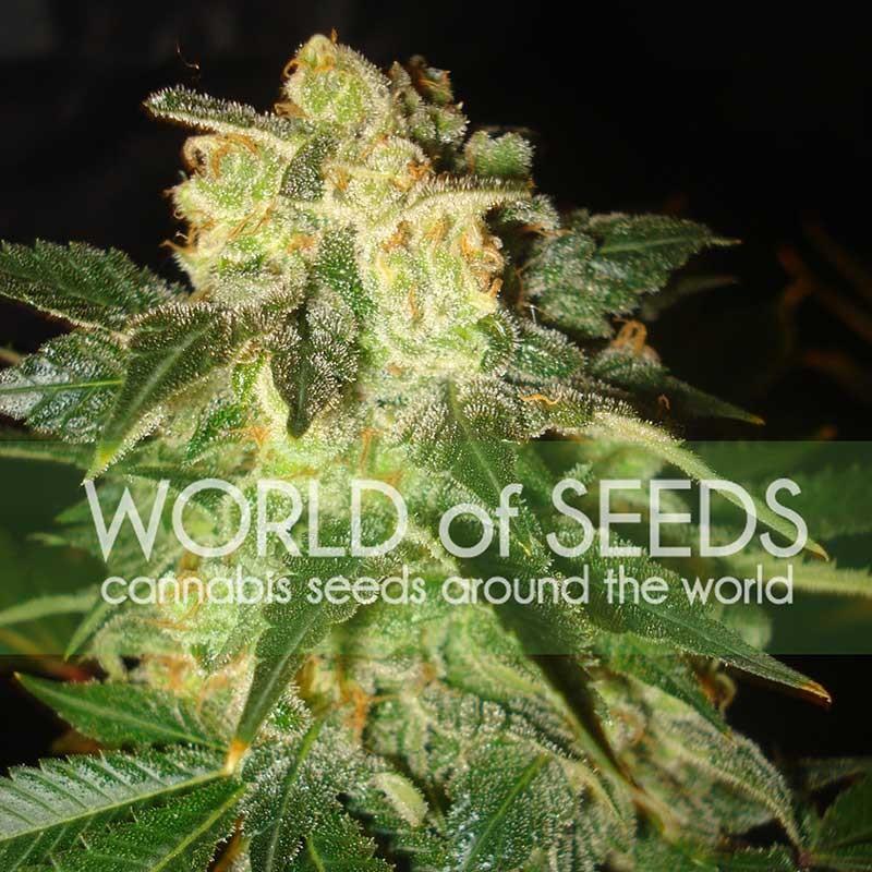 PAKISTAN RYDER  - World of Seeds - Seed Banks