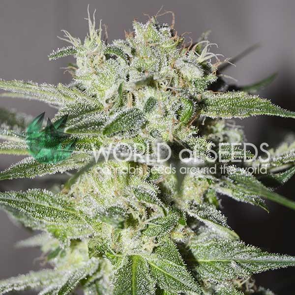 Pakistan Valley Regular - 10 Semillas - World of Seeds - Seed Banks