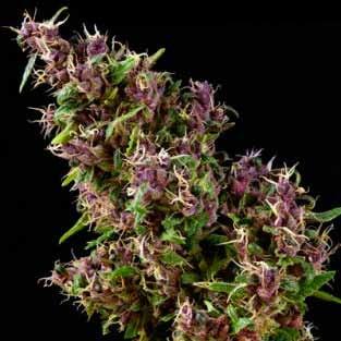 PURPLE PARO VALLEY  - Mandala Seeds - Seed Banks