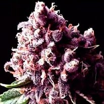 Purple Pinecone - 5 seeds - Sagarmatha - Seed Banks