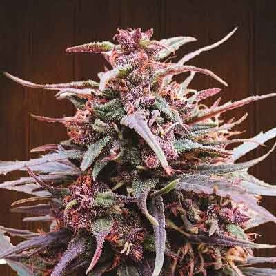 Purple Haze x Malawi  - Ace Seeds - Seed Banks