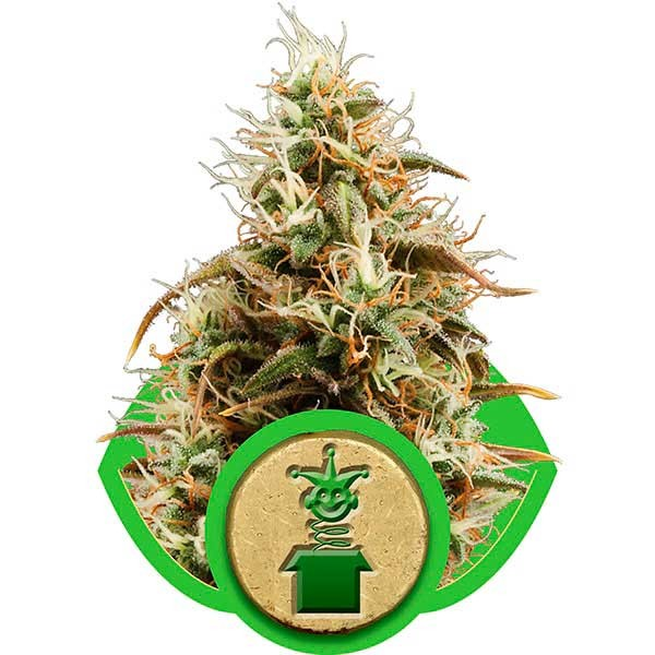 Royal Jack Automatic - Royal Queen Seeds - Seed Banks