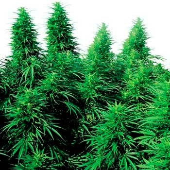 RUDERALIS SKUNK REGULAR - Sensi Seeds - Seed Banks
