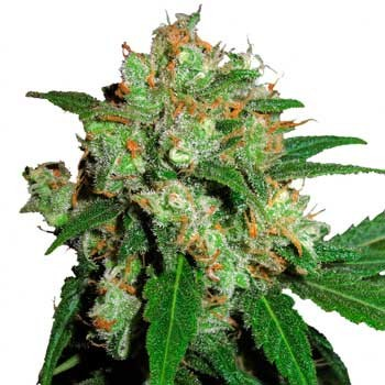 SENSI SKUNK - Sensi Seeds - Seed Banks