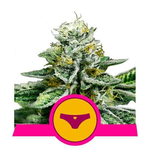 Sherbet Queen - Royal Queen Seeds - Seed Banks