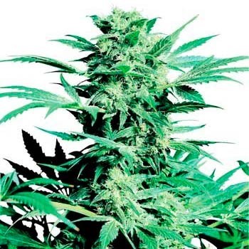 SHIVA SKUNK - Sensi Seeds - Seed Banks