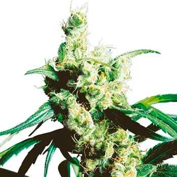 SILVER HAZE REGULAR - Sensi Seeds - Seed Banks
