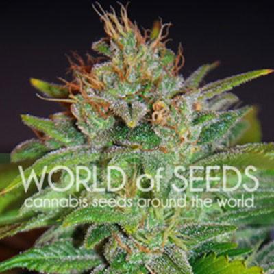 Skunk 47 - World of Seeds - Seed Banks