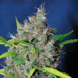 Strawberry D-Lite - 5 seeds - Sagarmatha - Seed Banks