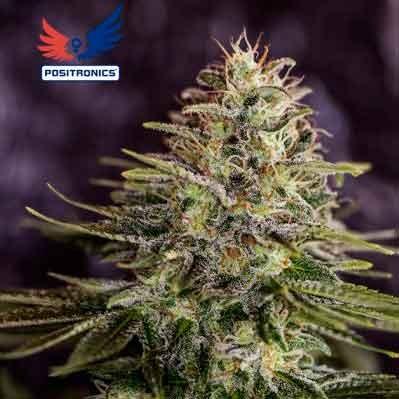 Sticky Dream - 5 seeds - Positronics - Seed Banks
