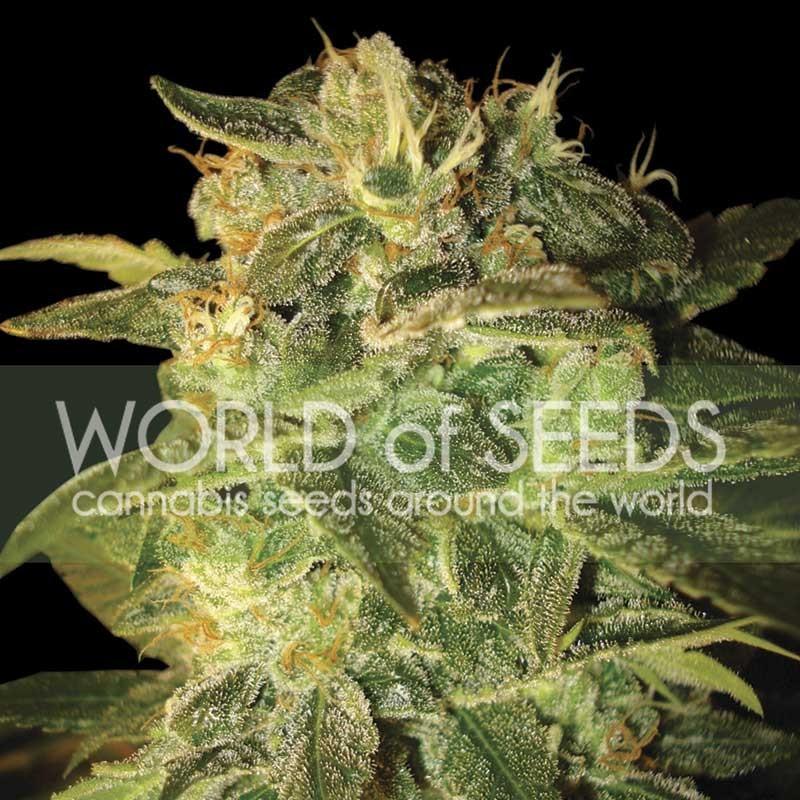 SUGAR MANGO RYDER  - World of Seeds - Seed Banks