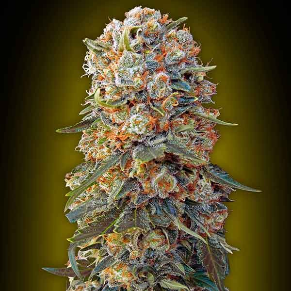 Sweet Critical - 5 seeds - 00 Seeds - Seed Banks