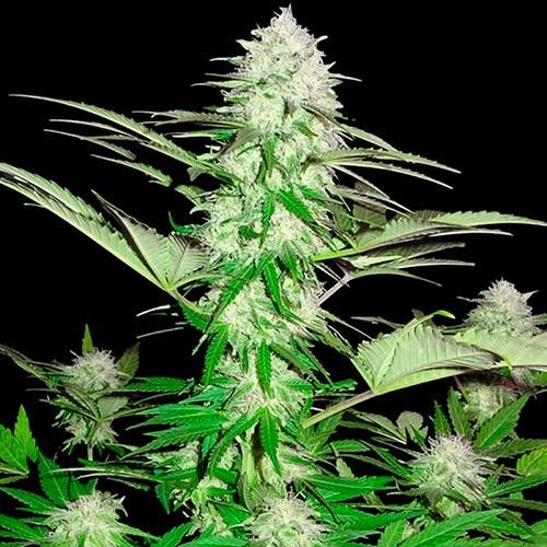 Sweet Harlem Diesel - 3 seeds - Sumo Seeds - Seed Banks