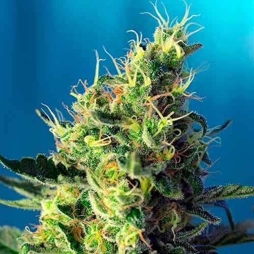 Sweet Pure CBD - Sweet Seeds - Seed Banks