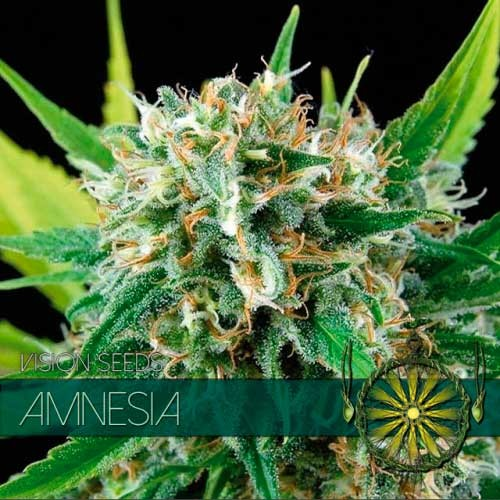 AMNESIA - Vision Seeds - Seed Banks