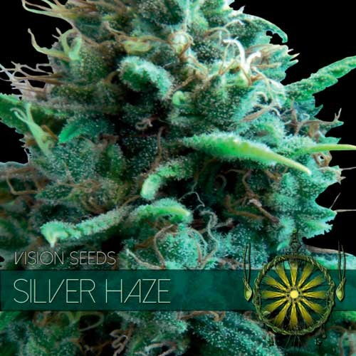 SILVER HAZE - Vision Seeds - Seed Banks