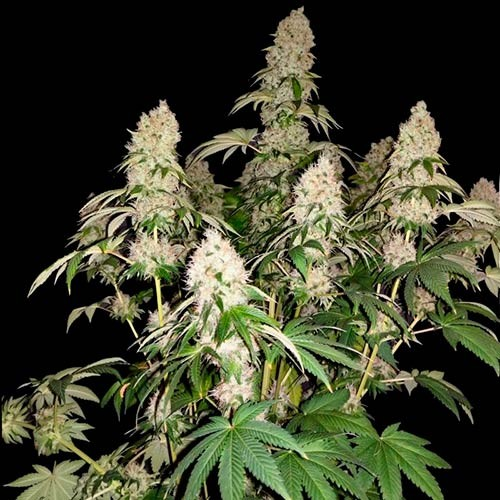 White Caramel Cookie  - 3 seeds - Sumo Seeds - Seed Banks