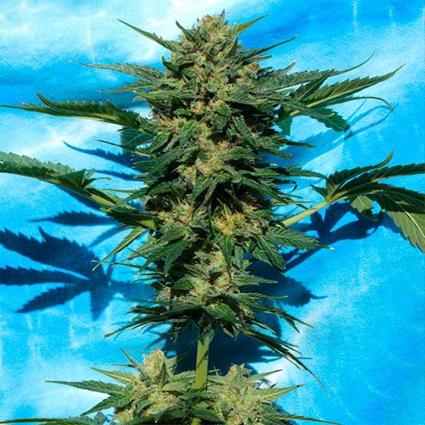 White Russian #1 Auto - Serious Seeds - Seed Banks