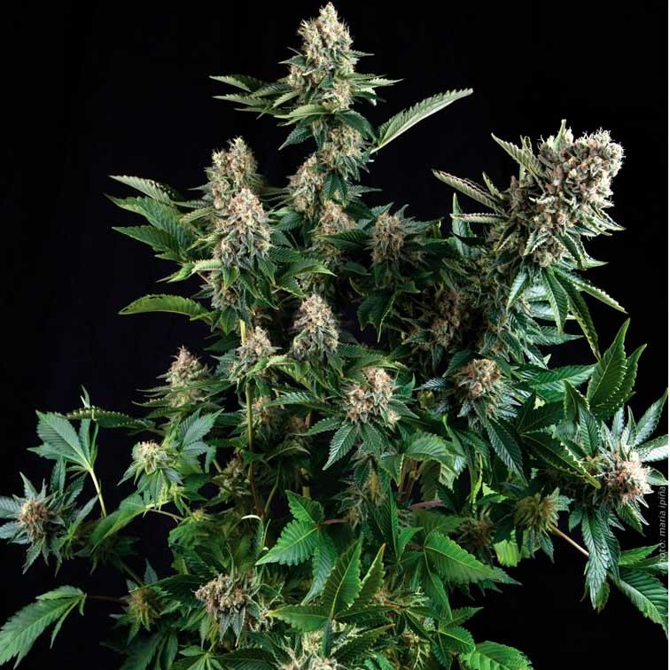 WHITE WIDOW - Pyramid Seeds - Seed Banks