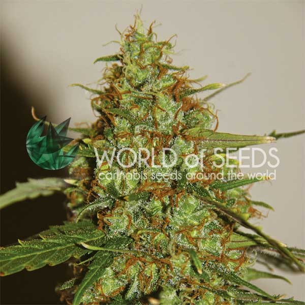 WILD THAILAND RYDER - World of Seeds - Seed Banks
