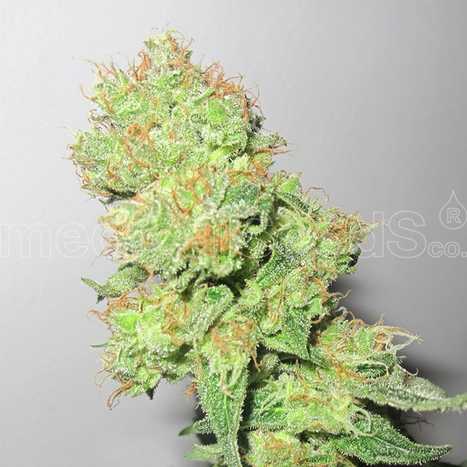 Y GRIEGA CBD - Medical Seeds - Seed Banks