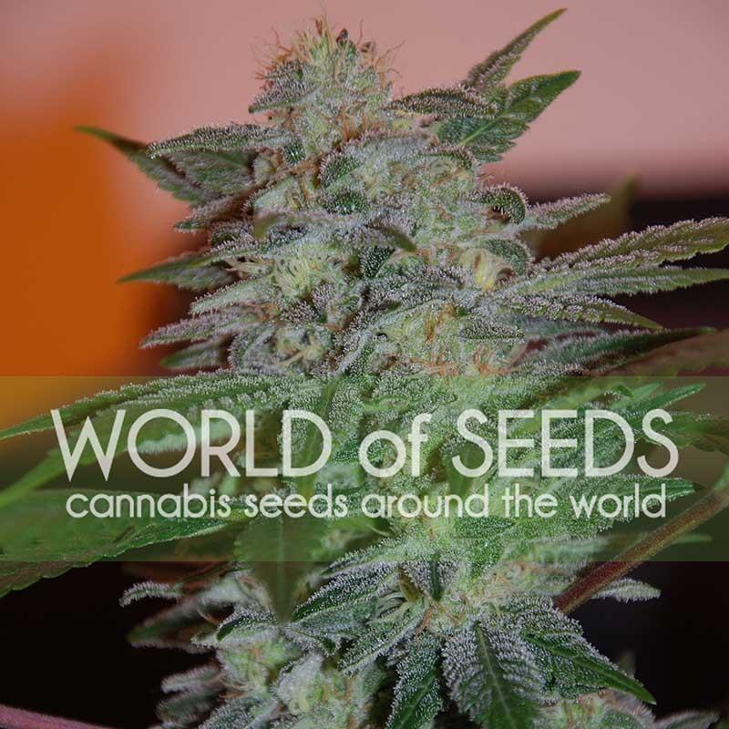 Yumbolt 47 - World of Seeds - Seed Banks