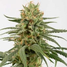 Amnesia CBD - Samsara Seeds - Dinafem