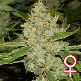 BRAINS CHOICE – 5 SEEDS - Samsara Seeds - KC Brains