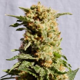 La Blanca - Samsara Seeds - Kannabia