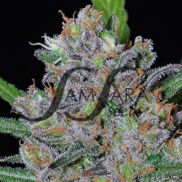 Sweet Black Angel - Samsara Seeds - FEMINISIERT