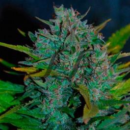 Ultraviolet - Samsara Seeds - AUTOFLOWERING
